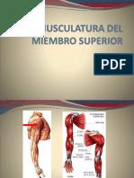 Musculatura Del Miembro Superior-Inferior