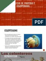 Evolucion de Poriferos y Celenterados