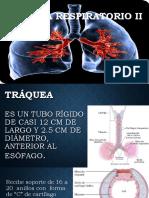 Sistema Respiratorio (Vias Inferiores)