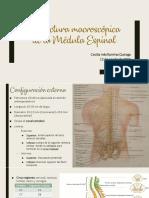 Estructura macroscópica de la Médula Espinal