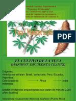 cultivo yuca