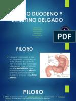 Piloro Duodeno y Intestino Delgado