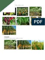 Cultivos de Centro America