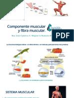 Clase 3 Componente Muscular y Fibra Muscular