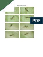 Mosquito Under Microscope