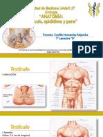 anatomatestculopeneprstata