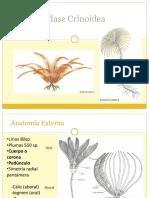 Cricoidea