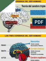 Partes Del Cerebro - Whitman AM