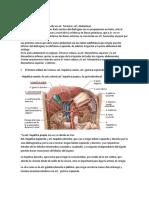 anatomía de hígado y páncreas