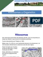 8 Ribosomas y Organelos