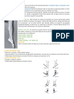 Los Músculos Eversores Primarios Del Pie Son Dos de Los Tres Músculos Peroneos