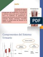 anatomayfisiologadelsistemaurinario-140623101839-phpapp01.pdf