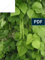 Evaluation of phenolic content of common bean (Phaseolus vulgaris L.) in association to bean fly (Ophiomyia spp.) infestation