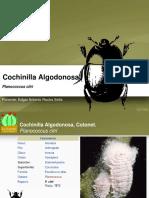 VM001-Cochinilla Algodonosa
