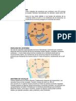 Anatomia de Lisosoma