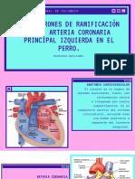 Los Patrones de Ramificación de La Arteria Coronaria Principal Izquierda en El Perro.