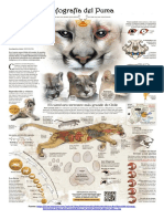 Infografía del Puma