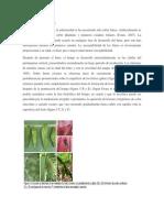 Sintomatología cacao.docx