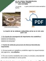 09. Ciclo de los ácidos tricarboxílicos.pdf