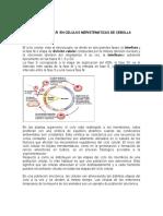 Ciclo Celular en Celulas de Cebolla (1) (3)