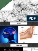 nerve cells   nervous system
