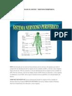 Como Esta Formado El Sistema Nervioso Periferico