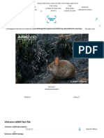 Volcano Rabbit Videos, Photos and Facts - Romerolagus Diazi _ Arkive