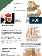Dientes Histología Ppt