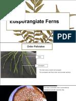 Leptosporangiate ferns
