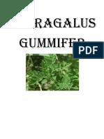 Astragalus Gummifer