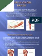 Músculos Del Brazoo-2