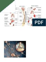 Sistema Nervioso Imagenees