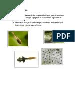 metamorfosis anfibios.pdf