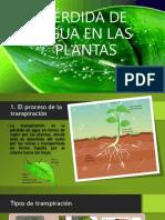 La pérdida de agua  en las plantas.pptx