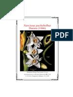 Narcissus pachybolbus Durieu (1846)