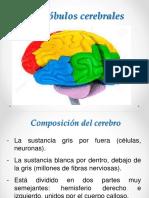 1. Los lóbulos cerebrales