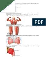 10 musculos del ceurpo humano.docx