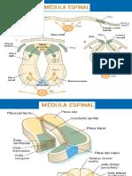 Sistematizacion de La Medula
