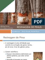 Resinagem de Pinus 20122