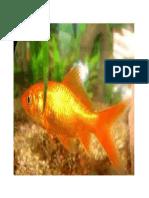 ikan emasku