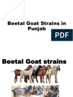 6 e. Beetal Goat Strains 2019