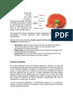 CORTEZA CEREBRAL.docx