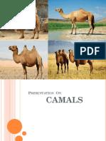 Camels.pptx