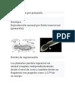 Reproducción Por Gemación planarias