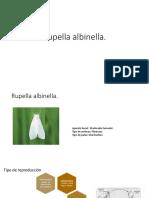 Rupella albinella