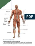 Sistemul Muscular final monica.docx