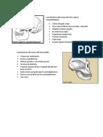 Características Del Cráneo de Homo Erectus