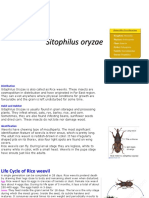 Sitophilus oryzae