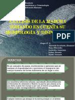 Análisis de La Marcha Tomando en Cuenta Su Morfología y Disposición