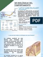 Bases Biologicas Del Cerebro